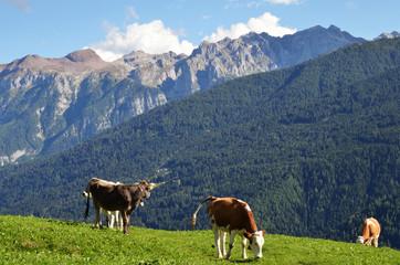 mucche con cime