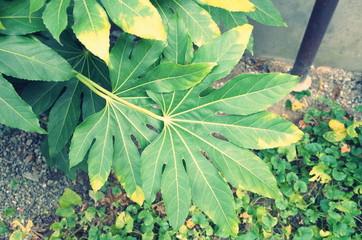 大きな緑の葉