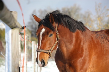 Beautiful bay sport horse portrait