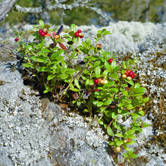 Cowberry on a stone covered with lichen
