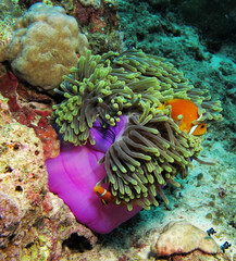 The clownfish in the anemone