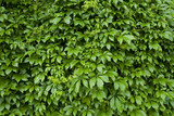 Natural background from climbing plants