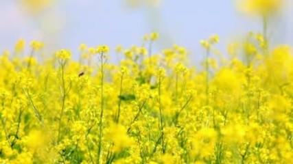 Oilseed rape