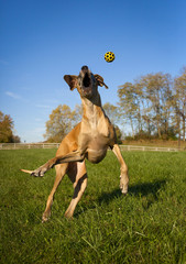 Great Dane leaping wildly for yellow ball, vertical