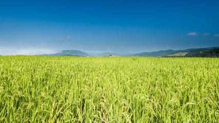 Rice farm on the mountains