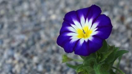 Blaue Viola Blume im Wind