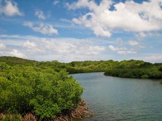 Mangrove Forest in Roatan