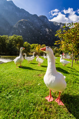 Flock of geese near the river in the mountains