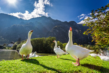 Geese by the river in the mountains