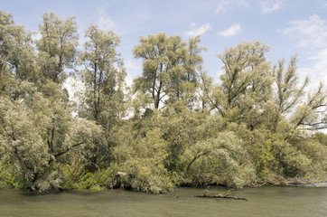 Willow forests,