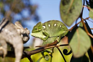 Fighting Chameleon - Rare Madagascar Endemic Reptile