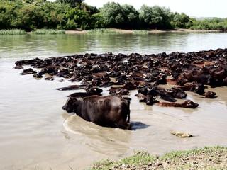a herd of water buffalo