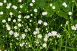 Cerastium flowers (mouse-ear chickweed)
