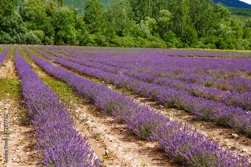 Lavender fields near Valensole in Provence, France. © Irina Schmidt