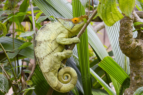 Staande foto Kameleon Parson's chameleon (Calumma parsonii) - Rare Madagascar Endemic