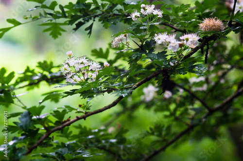 canvas print picture Hawthorn