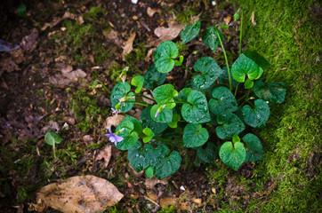 Wild Violet plant