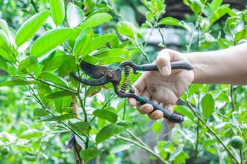 Gardener use prunning shears