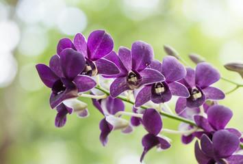 purple hybrid Dendrobium orchid flower