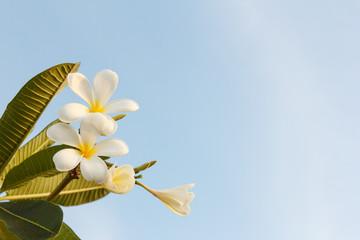 White Plumeria Flower on Sky Background