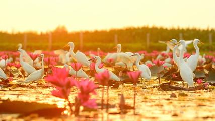 white egrets in Thale Noi Waterfowl Park, Phathalung, Thailand
