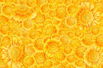 Herbera flowers background