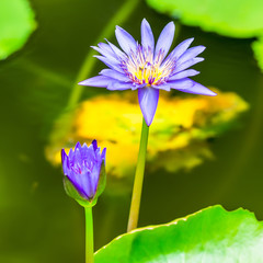 beautiful blue lily against the water and green leaves, closeup