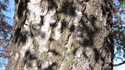 Blätterschatten auf Birkenrinde
