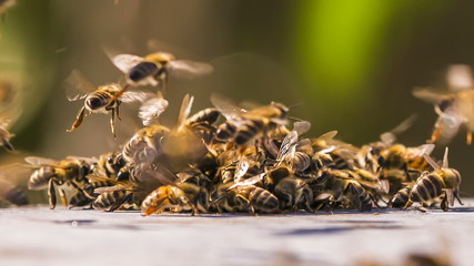 Honey Bees Fighting With Aliens. Time lapse