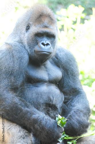 Foto op Canvas Aap Strong Adult Black Gorilla
