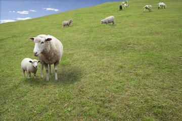 草原の親子羊