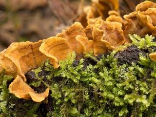 Stereum hirsutum. Orange colour fungus, in oakwood.