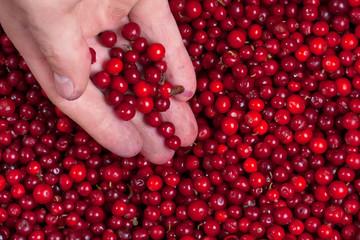 Сowberries in hand