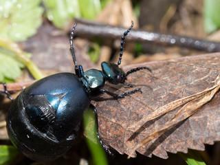 Blister beetle macro. Meloe aka oil beetle, Europe.