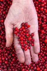ripe cowberries in hand
