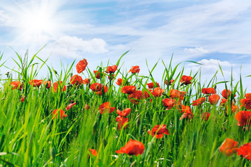 Field with blossoming poppies and  blue sky with white clouds