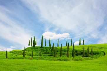 Cypresses growing in a field and blue sky , Tuscany