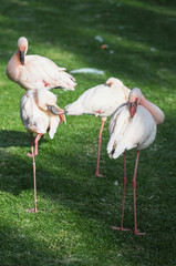 Pink Adult Flamingo