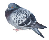 Feral gray pigeon isolated on white background poster