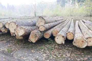 bale drzew na karczowisku