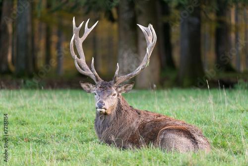 Spoed canvasdoek 2cm dik Hert Rothirsch, Red deer, Cervus elaphus