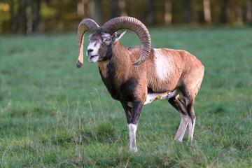 Mufflon, Mouflon, Ovis orientalis