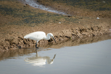 Great white egret, Ardea alba.