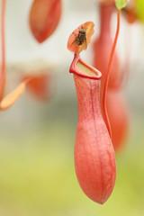 ハエとウツボカズラ -Nepenthes-
