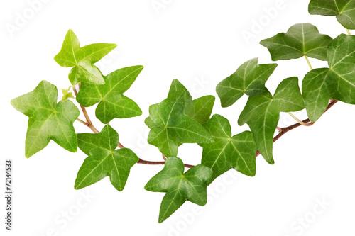 In de dag Planten Ivy