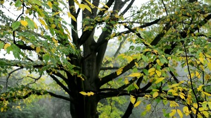 autumn tree - fallen leaves (mist)