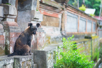 Stray dog on a street of Ubud, Bali