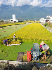 Reisanbau in Asien