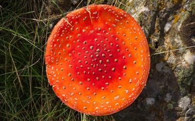 Sombrero redondo y plano de Amanita Muscaria