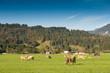 canvas print picture - Wiese mit Kühen im Allgäu